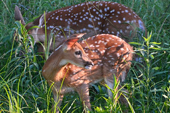 This Year's Fawn Twins (NaturalLight) Tags: whitetail deer fawn twins chisholmcreekpark wichita kansas