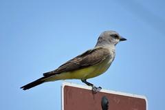 Western Kingbird (Patricia Henschen) Tags: rockymountainarsenal commercecity colorado nationalwildliferefuge urban bird songbird westernkingbird