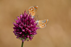 Aricia cramera (jotneb) Tags: insectos vidaselvagem borboletas animais flores natureza nikon arlivre escaroupim salvaterra portugal