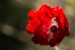 Coquelicot au coeur blanc (mars-chri) Tags: coquelicot coeurblanc fleur sauvage butrysuroise valdoise rouge prairie