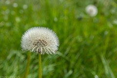 Blow Me Away (phlpp.hrm) Tags: dandelion blowball meadow flower plants green nature outdoor closeup bokeh löwenzahn pusteblume wiese natur grün summer sommer