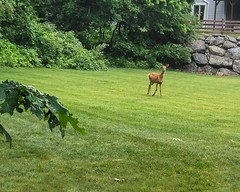 Morning Visitor (lclower19) Tags: iphone deer field morning doe home