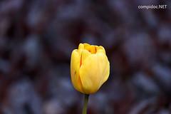 20170420-DSC_9635 (compidoc) Tags: bluete blumenpflanzen hamburg kirschbluete plantenunblomen tiere tulpe vogel zustand