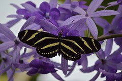 On Purple (ACEZandEIGHTZ) Tags: zebra longwing butterfly nikon d3200 queenswreath nature heliconius charitonia