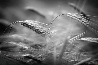 Barley in Black and White