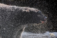 Bear Spray (PamsWildImages) Tags: black bear wet water nature wildlife canada bc pamswildimages