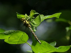 Southern Hawker (Immature Male) (ukstormchaser (A.k.a The Bug Whisperer)) Tags: southern hawker hawkers uk dragonfly dragonflies animal animals wildlife milton keynes howe park wood tattenhoe perched july sunlight afternoon
