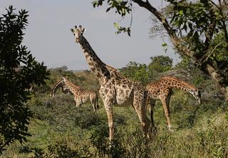 World Giraffe Day – 21 June 2017