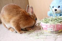 Ichigo san 748 (Ichigo Miyama) Tags: いちごさん。うさぎ ichigo san rabbit うさぎ netherlanddwarfbunny netherlanddwarf brown ネザーランドドワーフ ペット いちご