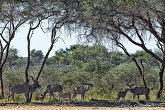 Cudù maggiori (Tragelaphus strepsiceros), Kudus (paolo.gislimberti) Tags: namibia waterbergplateau parchiafricani africanparks parchinamibiani namibianparks turismo tourism meteturistiche touristdestinations nature natura naturephotography fotografianaturalistica animals animali mammiferiafricani africanmammals erbivori herbivores antilopi antelopes animaliambientati animalsintheirenvironments savana savannah bush boscaglia mimicry mimetismo