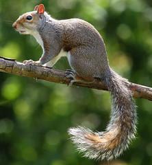 Garden Visitor (Carbonkrazy) Tags: bokeh grey squirel