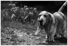 Rollie not too happy with the summer temperatures (WibbleFishBanana) Tags: basset hound dog hunde