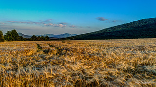 Wheat field at the foot of the mountain
