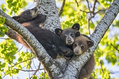 Black Bear Cubs - The Calm Before the Storm (Glatz Nature Photography) Tags: minnesota nature nikond5 northamerica northwoods northernminnesota vinceshutewildlifesanctuary wildanimal wildlife blackbears ursusamericanus cubs bearcubs babyanimals naptime springcubs bearsinatree cute specanimal