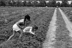 HAPPY KIDS IN STRAWBERRY FIELD (KOGH65) Tags: blackandwhite monochrome kogh65 photography photo travel art black white mono tone outdoor life people depth field reportage young kogh candid camera focus pov picture 50mm image 2017 strawberry fields forever picking