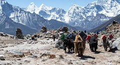 it's Yak (f.rohart) Tags: nepal ebc everestbasecamp snow mountain everest outdoor yak canon7dmarkii canonef24105mmf4lisusm