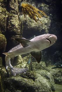 Leopard Shark Underbelly