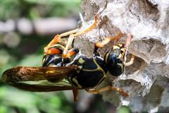 178/365 (Daegeon Shin) Tags: fujifilm xpro2 nikkor 55mmf28 manualfocus mf macro animal insecto insect wasp 말벌 avispa 365 dof 후지 니콘렌즈 수동 수동촛점 동물 곤충 마크로 접사