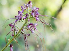 _EF02649 (_ef_) Tags: pilis himantoglossum jankae janka sallangvirág