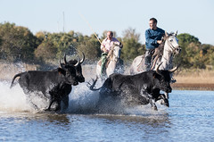 2016 Best Bulls in Camargue (16) (maskirovka77) Tags: vauvert languedocroussillonmidipyrén france languedocroussillonmidipyrénées fr