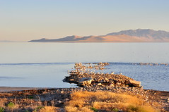 The pipes (Great Salt Lake Images) Tags: summer morning causeway shorebirds migratorybirds californiagulls greatsaltlake utah