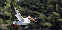 2017-06 Stephen Payne-87.jpg (Stephen_Payne) Tags: birds pelicans lakeofthewoods oregon othertags places lakes