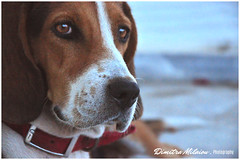 days on the beach... (dimitra_milaiou) Tags: dog portrait life day live love face greece summer spring winter fall nikon world planet earth europe sea shore beach stay animal look looking bokeh d milaiou dimitra photography red blue color colour poetry thoughts nice lovely happy happiness 90 d90 afternoon island greek visit andros cyclades holidays vacations pet stray ελλάδα hellas σκύλοσ παραλία μηλαίου δήμητρα πορτραίτο πορτρέτο φωτογραφία ανδροσ νησί αδέσποτο lonely beautiful moments mood waiting close up closeup macro