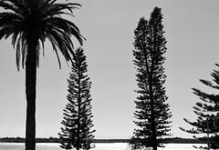 A Week North (graeme37) Tags: portmacquarie newsouthwales norfolkislandpines phoenixcanariensis silhouette blackwhite