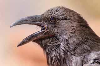Common Raven (Explored)