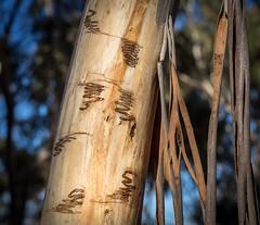 Gum tree scribbles (loveexploring) Tags: australia australiantree bucculatricidae ogmograptis eucalyptus gumtree scar scarring scribble scribblygum scribblygummoth tree bark