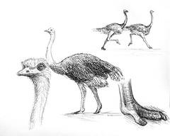 Ostrich Sketches (Marcos Telias) Tags: avestruz ostrich sketch boceto illustration drawing dibujo ilustración bosquejo arte artista artist ballpoint bolígrafo pen lápiz fantasy