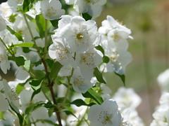 Mock Orange (lovesdahlias 1) Tags: philedelphus flowers blossoms gardens nature summer newengland