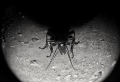 Bug on the Moon - Bogár a Holdon (morosus) Tags: insect rovar bogár este night vaku flash moon hold