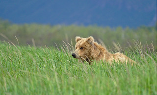 Bear in the grasses