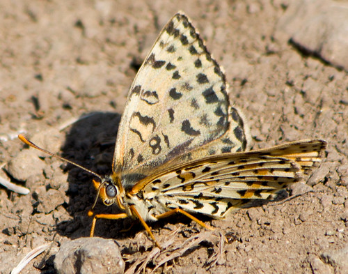 Шашечница красная / Melitaea didyma / Spotted Fritillary or Red-band Fritillary  / Rote Scheckenfalter