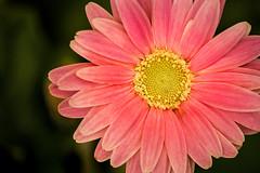 Gerbera-Light Pink 3-0 F LR 5-16-17 J044 (sunspotimages) Tags: gerberas gerbera flower flowers pinkgerberas pinkgerbera pinkflowers pinkflower pink nature
