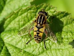 Gemeine Sumpfschwebfliege (Marie van Keule) Tags: deutschland germany 2017 tier tiere animal animals insekt gemeinesumpfschwebfliege schwebfliege schwarz gelb