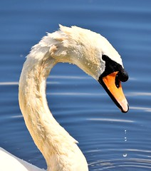 Swan (adeleshaw) Tags: swan wildlife oldmoorrspbbarnsley nature birds white