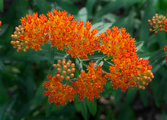 Butterfly Weed (annabelleny Thank you for your many views and comm) Tags: flower floral butterflyweed asclepias garden annjacobson