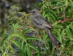 Phainopepla (female)--Phainopepla nitens (Polioptila caerulea) Tags: phainopepla femalephainopepla nitensblue elderberrysambucus mexicanasambucuswhite oak drnevada county california phai