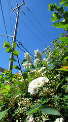 Among the shrubbery (siong.lewis) Tags: flora plant plantphotography flower shrubbery urbanphotography streetphotography city toronto