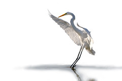 Great Egret (John's Love of Nature) Tags: johnkelley greategretardeaalba elitegalleryaoi bestcapturesaoi aoi