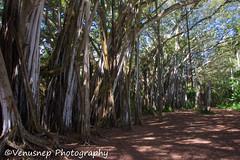 Turtle Bay 22 (venusnep) Tags: turtlebay turtle bay hawaii travel travelphotography north shore northshore may 2017 nikond610 nikon d610 banyantree banyan tree