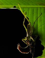 Spiny katydid (Panacanthus sp.) feeding on caterpillar (Caligo sp.) (pbertner) Tags: copiphorinae panacanthus caligo coneheadedkatydid caterpillar behaviour predation bilsareserve ecuador rainforest pacificcoastal southamerica