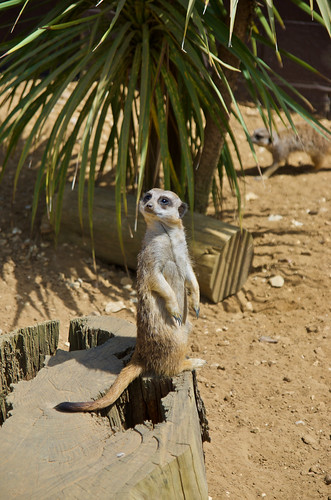 Meercat at Amazon World