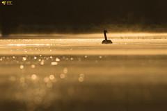 ''Promenade scintillante!'' Bernache du  canada (pascaleforest) Tags: oiseau bird animal nikon nature wild wildlife québec canada contrejour goldernhour heuredorée moorning matin faune marais eau water bohek