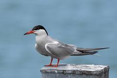Tern Preston Docks 2175  D210bob DSC_4970 (D210bob) Tags: tern prestondocks d210bob dsc4970 2175 nikon200500f56 nikond7200 wildlife photographybird photographynikon lancashire