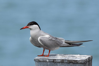 Tern Preston Docks D210bob DSC_4970