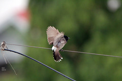 IMG_7446 (uday khatri photography) Tags: udaykhatriphotography art amazing abstract animal nature bird birds parrot bulbul flying beautiful ahmedabad india wildlife udaykhatri city evening