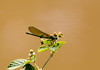 Dragonfly (deepskywim) Tags: libel waterjuffer dieren meerhout vlaanderen belgium be